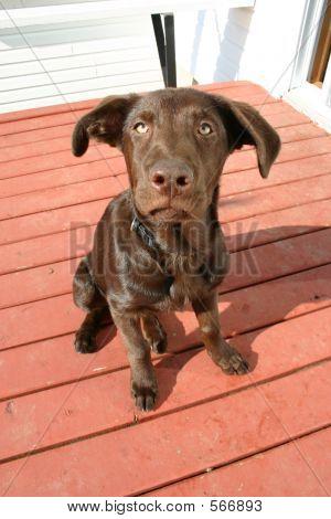 Carlito Dog