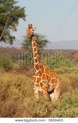 Reticulated Giraffe from Samburu National Park, in Kenya poster