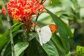The Great Orange Tip butterfly or Hebomoia glaucippe feeding  on Ixora flowers through its proboscis poster