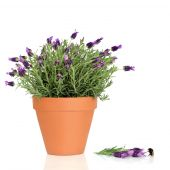 Lavender herb plant in flower growing in a terracotta pot with flowers and a bumblebee over white background. poster