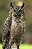 Great Horned Owl with a grumpy expression. poster