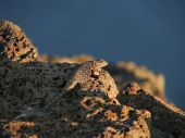A Blue Belly lizard sunbathing in the hot sun in the oregon desert. poster