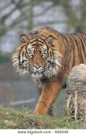 Menacing Tiger