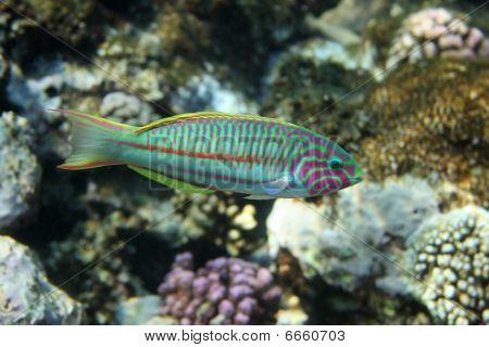 Coral Fish Thalassoma