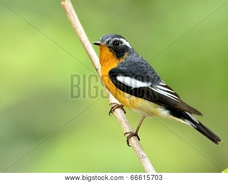 Beautiful Male Of Mugimaki Flycatcher Bird (ficedula Strophiata)  Perching On The Branch With Green