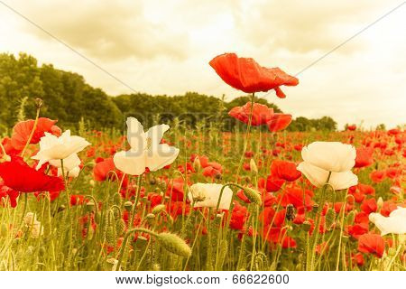Plantation Of Red And White Flowers Illuminated