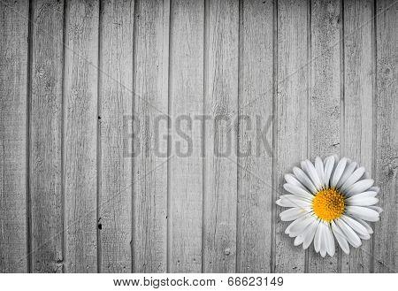 Marguerit Flower