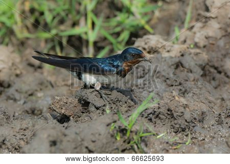 Red-Chested Swallow (Hirundo Lucida) gathering mud for a nest poster