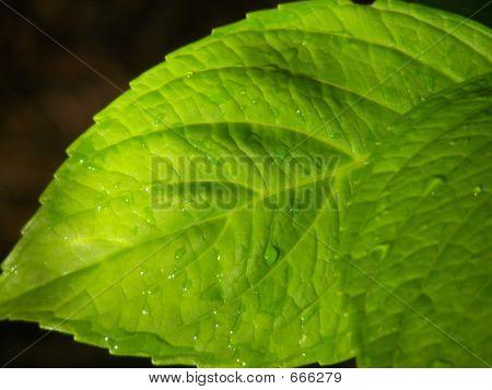 Hyndrangea Macrophylla Leaves