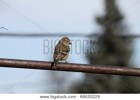 American Goldfinch (adult male non-breeding)