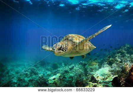 Green sea turtle swimming underwater