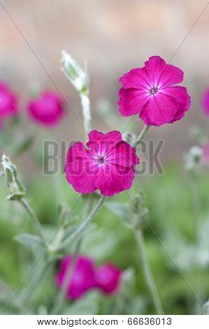 Pink Silene coronaria (rose campion) flowers closeup poster