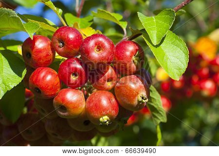 Close-up Of Ripe Crab Apples