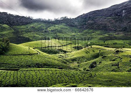 Tea Plantation In Munnar