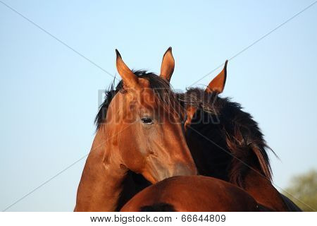 Two Brown Horses Nuzzling Each Other