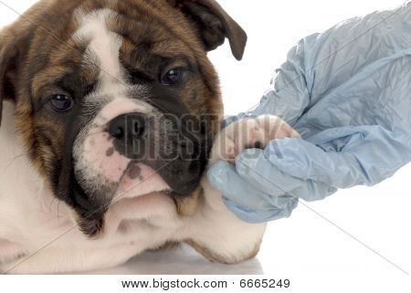 Bulldogge Welpen Vet check