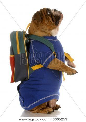 Bulldog Wearing Backpack
