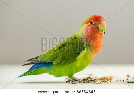 Colorful Agapornis