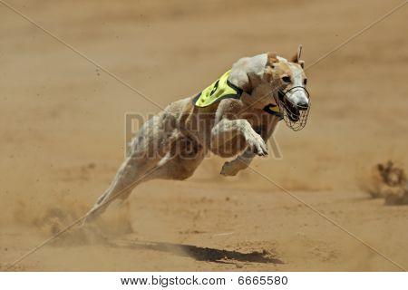 Sprinting Greyhound
