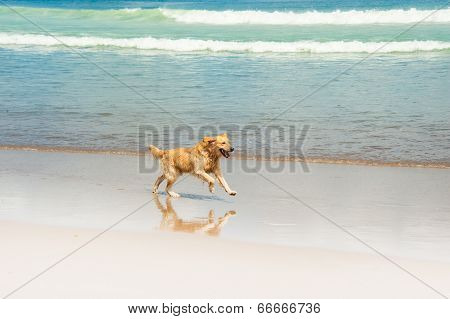 Happy Labrador playing at the beach