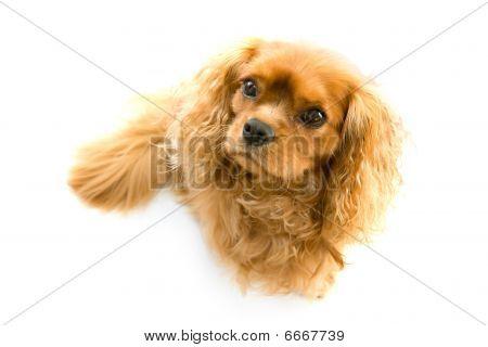 sitting kingcharles dog isolated on white shallow DOF poster