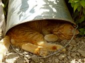 red tabby cat resting under the bucket in very hot summer day poster