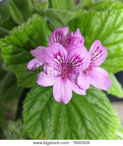 Geraniums (pelargonium Cucullatum)