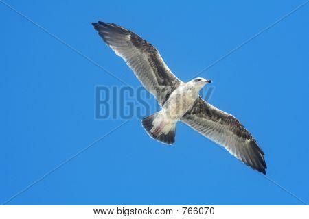 Grey bird flying