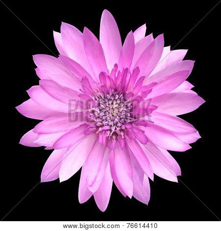 Pink Conflower Flower In Full Bloom Isolated On Black