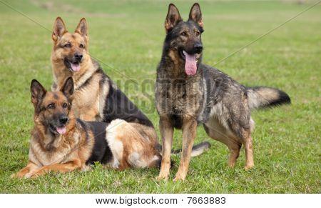 Three German Shepherds