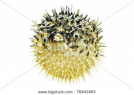 Fish Hedgehog