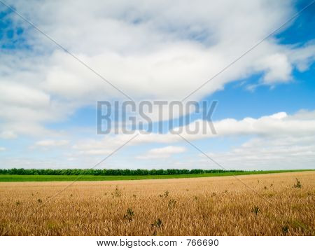 blue sky, white clouds and wheaten field