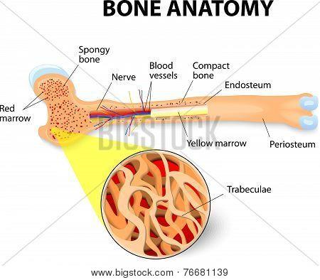 anatomy of the Long Bone