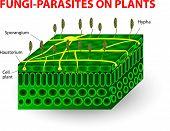 Fungi-parasites on plants. Pathogens. education Vector diagram poster