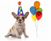 Sitting Puppy Dog With Birthday Party Hat and Balloons. Studio Shot poster