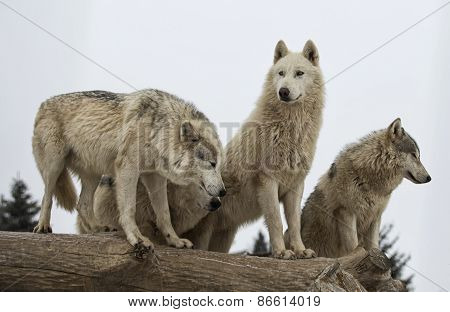 Close up image of a grey wolf pack or timber wolf.  Winter scene with snowing. poster