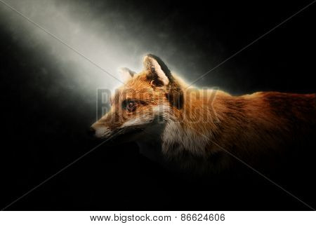 Close up of the head of an alert adult wily red fox lit by a beam of light shining obliquely from the upper left corner through the darkness