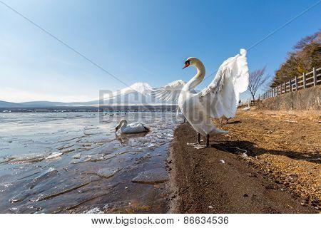 Mountain Fuji fujisan from Yamanaka lake and goose in winter