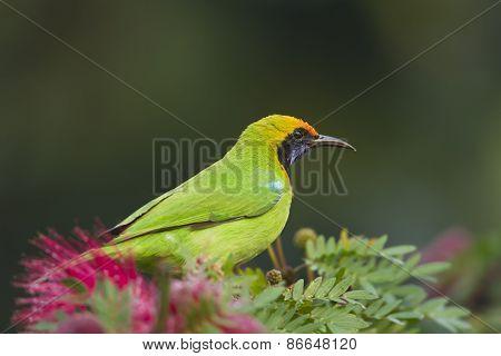 Golden-fronted Leafbird In Red Powder Puff Tree