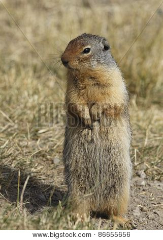 Columbian Ground Squirrel Standing On Its Hind Legs