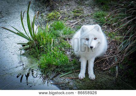 Arctic fox, Vulpes lagopus, near a marsh