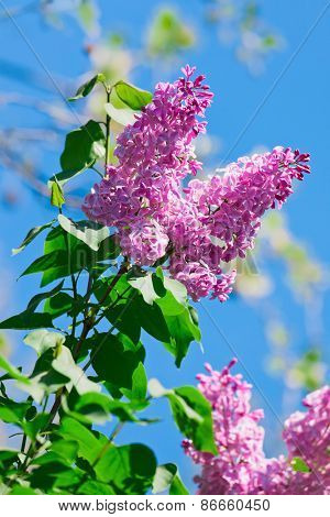 Bunch of violet lilac flower in sunny spring day in front of blue sky