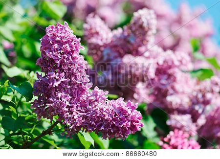 Close-up view of violet lilac flower inflorescence in sunny spring day