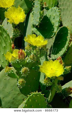 Cactus Florescence. A Few Open Flowers And Close Buds.