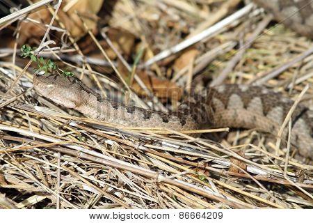 European Sand Viper Camouflaged In Situ