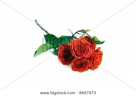 Terracotta Rose Isolated Over White