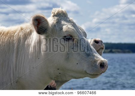 Cow With Flies