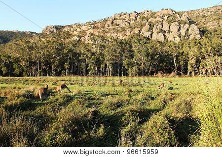 Lush paddock with Kangaroos