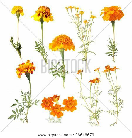 Set of different marigold flowers isolated on white