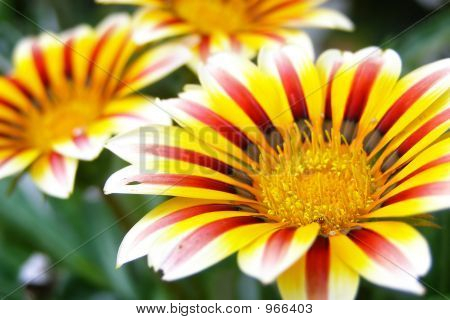 Yellow And Red Daisy